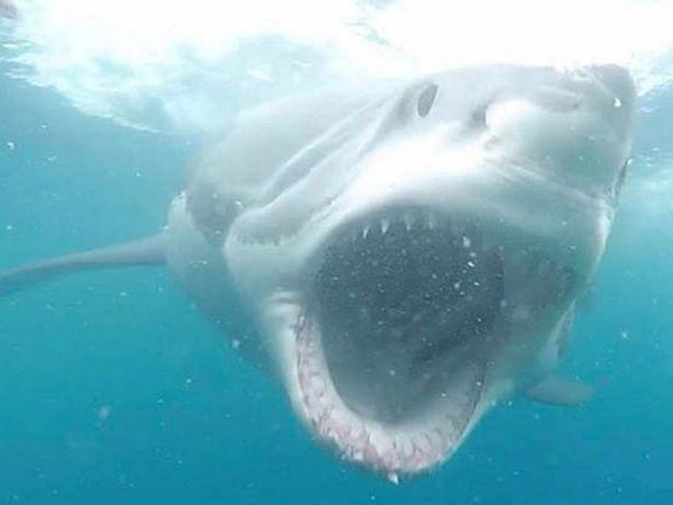 Cá mập,cá mập trắng lớn,Australia,động vật,du khách