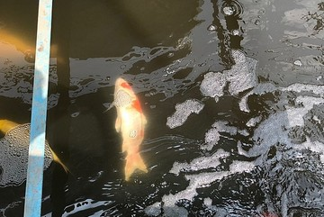 Japanese Koi dies after two days released into To Lich River