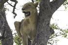Sư tử 'chịu nhục' trước bầy linh cẩu và màn trả thù đáng sợ
