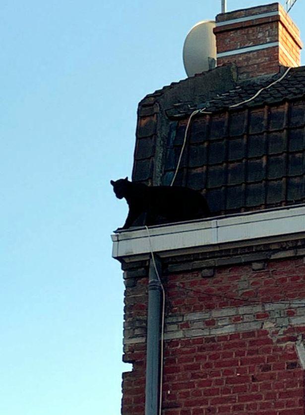 Báo đen,thành phố,Pháp,Lille,cảnh sát,động vật,động vật hoang dã