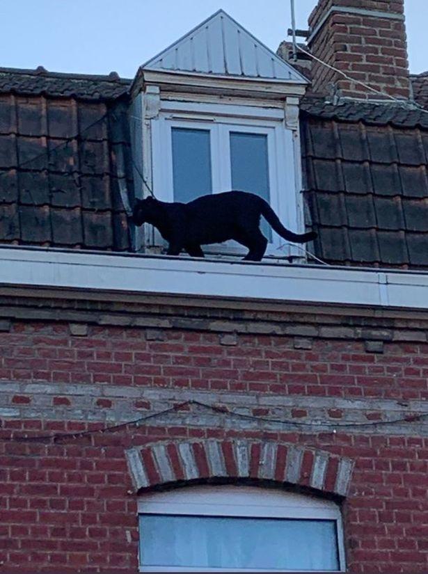 Báo đen thản nhiên 'đi dạo' trong thành phố