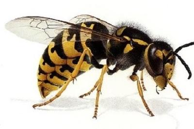 Ong vò vẻ dồn dập tấn công nhiều người đi đường