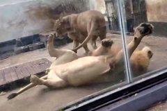 Sư tử đực ngã chổng vó vì phản ứng bất ngờ của bạn tình