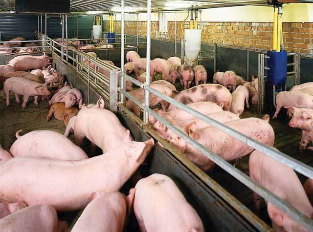 Vietnam, top 5 in pig husbandry, imports pork in large quantity