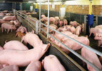 Vietnam, top 5 in pig husbandry, imports pork in large quantity