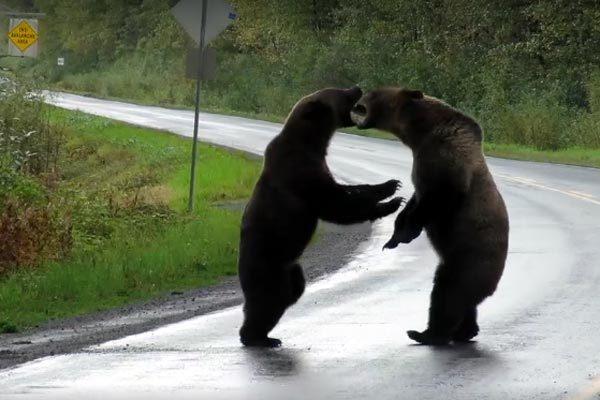Phát hoảng vì gặp cặp gấu đại chiến giữa đường