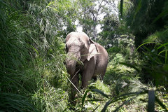 GPS tracking launched to monitor wild elephants in Dak Lak