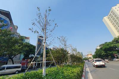 Kỳ lạ hàng phong lá đỏ giữa phố Hà Nội trên ủ rũ, dưới tốt tươi