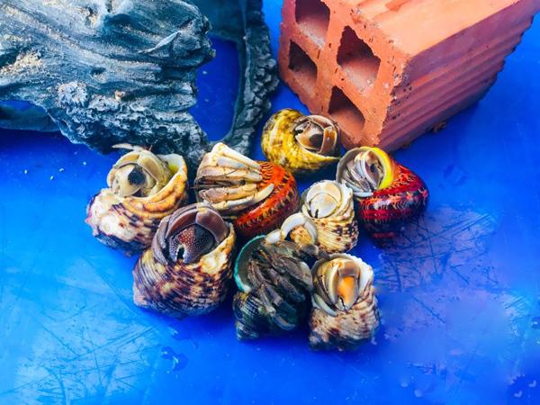 Loài ốc lạ chỉ để làm cảnh, giá 2-3 triệu/con người Việt vẫn đổ tiền mua