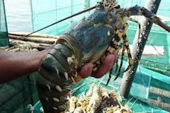 Tôm hùm bị rớt giá một nửa tại Phú Yên