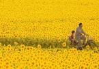 Cánh đồng hoa hướng dương triệu bông ở Nhật đẹp như tranh vào mùa thu