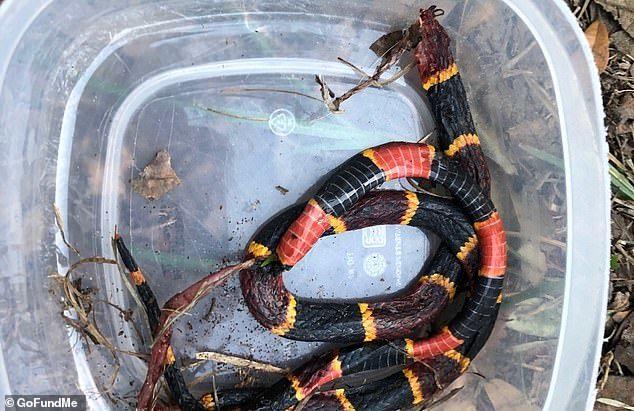 Chú chó trung thành chết thảm vì chiến đấu với rắn độc để bảo vệ chủ