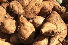 Sâm đất đại bổ mà rẻ như khoai lang, chỉ 15.000 đồng/kg tại vườn