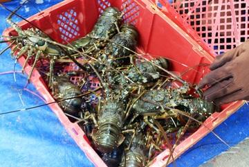 Phú Yên: Thị trường Trung Quốc 'chê' tôm hùm, ngư dân lao đao