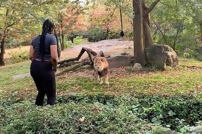 Video cả gan leo rào vào chuồng ghẹo sư tử