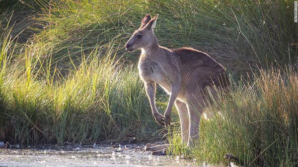 Kangaroos to be turned into pet food in Australian 'harvesting' program