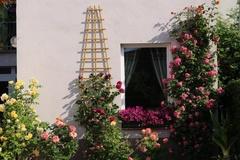 Xốn xang với vườn hoa hồng rộng bát ngát đẹp như cổ tích của mẹ Việt ở Đức