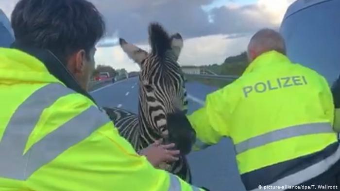 Zebra shot dead after causing accident on German autobahn