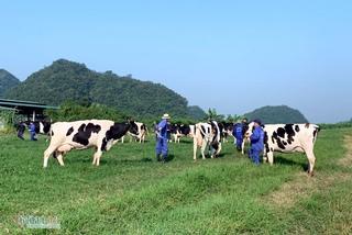 Chuyện lạ vùng cao, tiền tỷ lận lưng, lão nông dắt bò đi dạo quanh làng