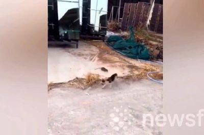 Ngược đời cảnh chuột rượt đuổi mèo chạy té khói