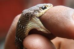Clip: Hãi hùng nhìn người đàn ông chăm sóc rắn 'khủng' như chăm thú cưng, hết tắm rồi lại xỉa răng