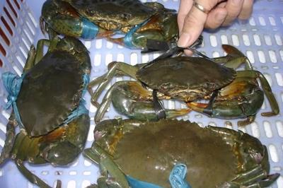 Giá cua biển bán sang Trung Quốc rẻ bất thường