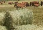 Rơm khô khan hiếm đắt đỏ, thương lái gom tận ruộng