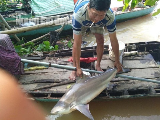 Ngư dân miền Tây bắt được cá lạ, nghi là cá mập nước ngọt