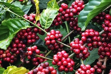 Coffee stockpiling recommended for Vietnam due to low prices