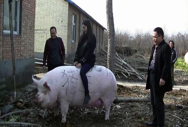 Khan hiếm thịt, Trung Quốc quyết nhân giống lợn 'siêu to khổng lồ'