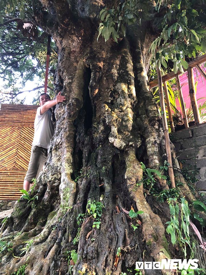 Kỳ bí 3 cây vải khổng lồ có từ thời 'Đẻ đất đẻ nước' giữa rừng Pù Luông