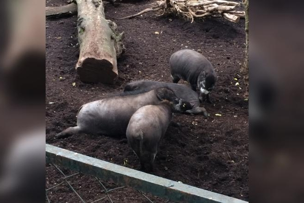Lần đầu tiên phát hiện lợn biết cách sử dụng công cụ