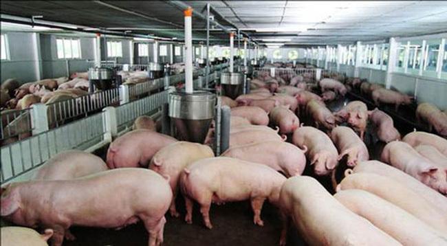 doanh nghiệp chăn nuôi,thịt lợn,giá thịt lợn