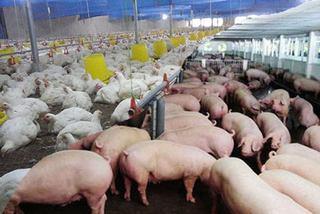 Nỗi buồn gà rẻ như rau, thịt lợn đắt kỷ lục, biết rồi nói mãi