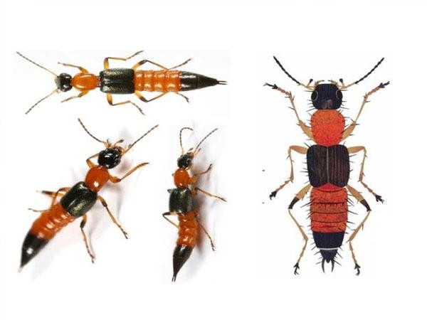 Nọc kiến ba khoang độc hơn rắn hổ 15 lần, cách chữa thế nào?