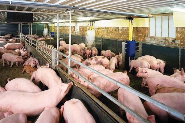 Giá thịt lợn đồng loạt giảm mạnh
