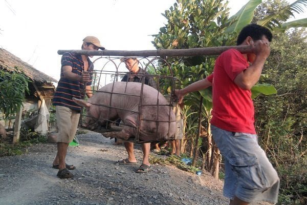 Chinese demand drives up Vietnam's pig prices