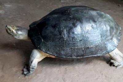 Vĩnh Long: Đang nhổ bông súng đụng trúng cụ rùa 'khổng lồ' nặng 8kg