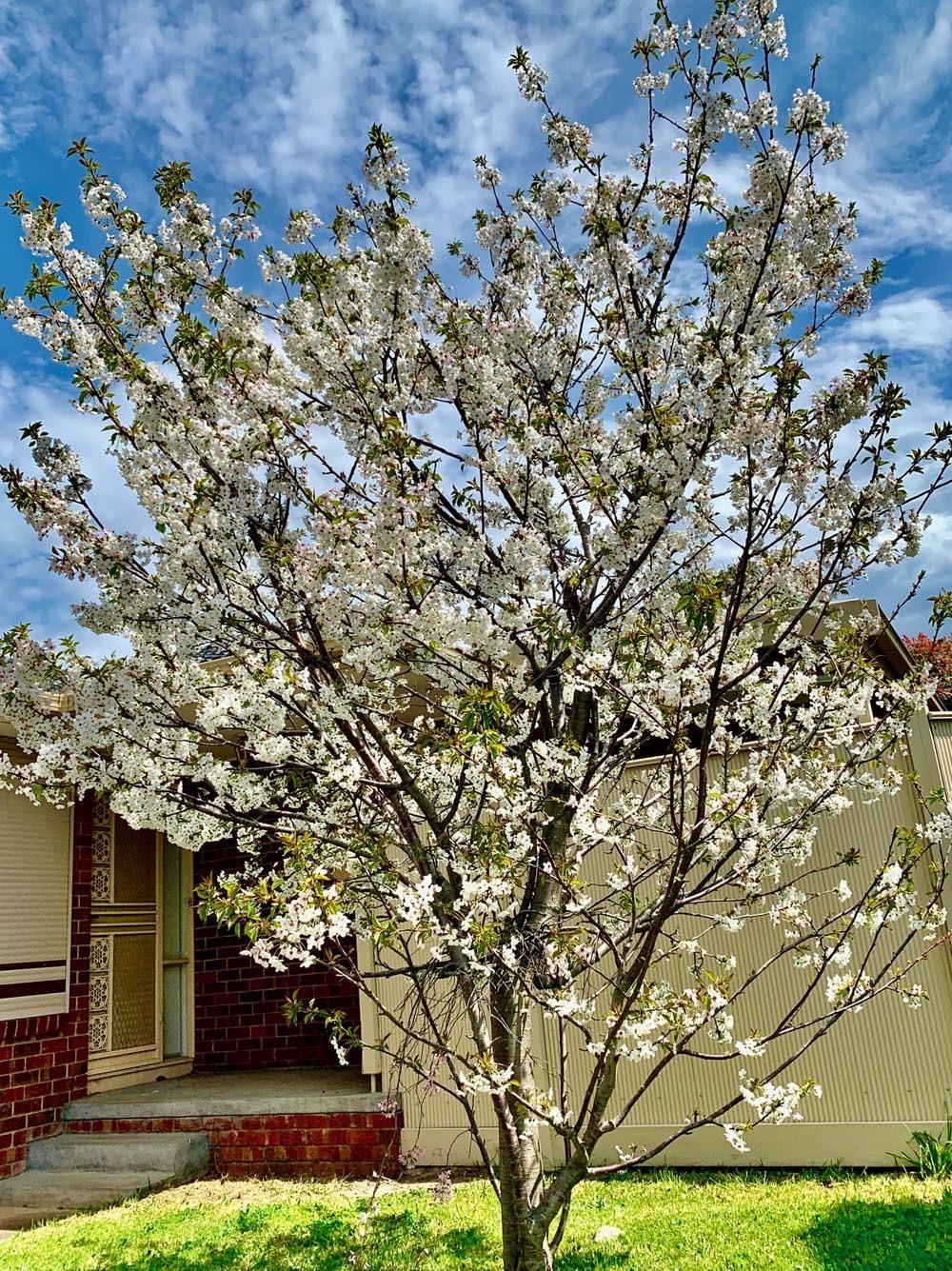 Rực rỡ hoa đào giữa mùa xuân nước Úc