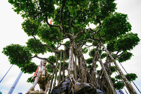 'Siêu cây' trị giá 20 triệu USD, người Nhật trả không bán