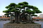 Cây sanh Việt cổ, đại gia Nhật trả 20 triệu USD vẫn không muốn bán