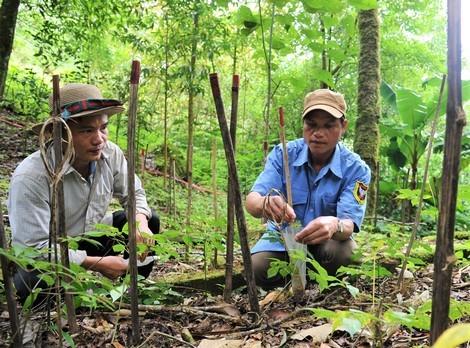 Những người bảo tồn 'quốc bảo' sâm Việt Nam