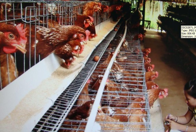 Domestic chicken industry faces stiff competition from imports