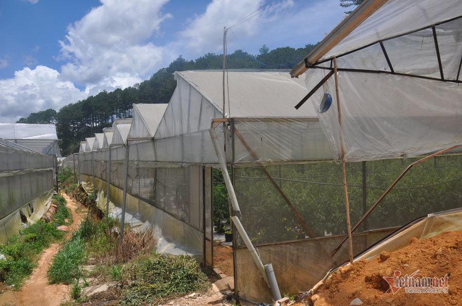 Trồng cà chua hữu cơ góp phần phát triển kinh tế địa phương