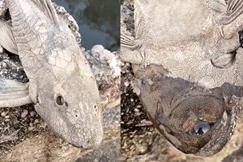 Kỳ dị loài cá chết khô bất ngờ hồi sinh khi đổ nước lên