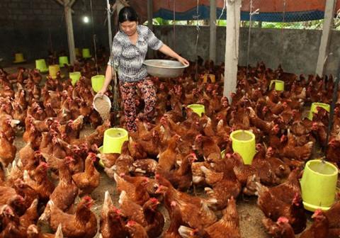 Thịt gà rẻ hơn rau, đồng loạt mất giá lại lo phải giải cứu