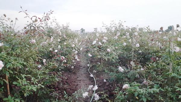 trồng hoa hồng,vườn hồng,hoa hồng,tỷ phú nông dân