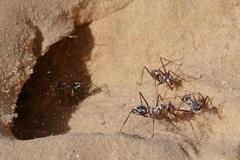 Phát hiện loài kiến di chuyển nhanh nhất thế giới