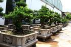 Đột nhập vườn tùng cổ hàng trăm tỷ của đại gia Hưng Yên