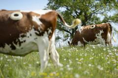 Trang trại kỳ lạ, đục lỗ trên thân các con bò để sống khoẻ hơn
